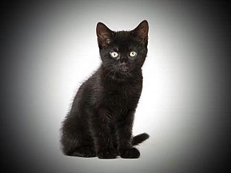Domestic Shorthair Kitten for adoption in Weimar, California - Blackie