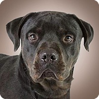 Adopt A Pet :: Shadow - Prescott, AZ
