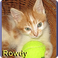 Domestic Shorthair Kitten for adoption in Aldie, Virginia - Rowdy