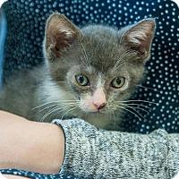 Adopt A Pet :: Boomer - New York, NY