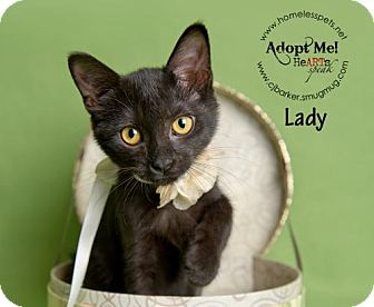 Domestic Shorthair Kitten for adoption in Houston, Texas - Lady