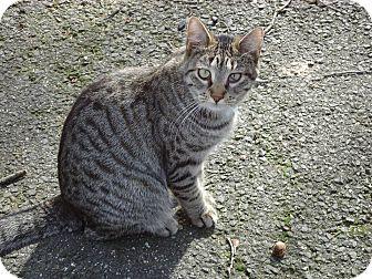 Domestic Shorthair Kitten for adoption in Central Islip, New York - Polly