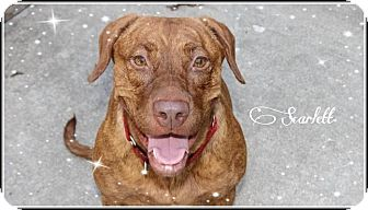 Vizsla/Labrador Retriever Mix Dog for adoption in Calgary, Alberta - Scarlett