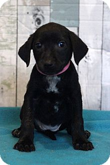 Labrador Retriever Mix Puppy for adoption in Waldorf, Maryland - Breeze ADOPTION PENDING