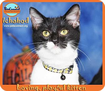 Domestic Shorthair Kitten for adoption in South Bend, Indiana - Ichabod