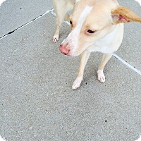 Adopt A Pet :: Dodger - waterbury, CT