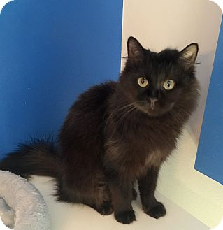 Domestic Longhair Cat for adoption in Summerville, South Carolina - Abigail