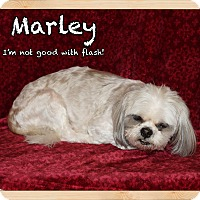 Shih Tzu Dog for adoption in Orlando, Florida - Marley