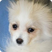 Pomeranian Puppy for adoption in Colorado Springs, Colorado - Dooley