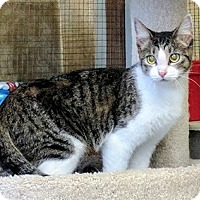 Domestic Shorthair Cat for adoption in Gonzales, Texas - Valley