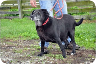 Labrador Retriever Mix Dog for adoption in Quentin, Pennsylvania - Bonkers is a Good Girl!