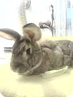 Flemish Giant Mix for adoption in Hillside, New Jersey - Harvey
