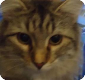 Maine Coon Kitten for adoption in batlett, Illinois - Calvin
