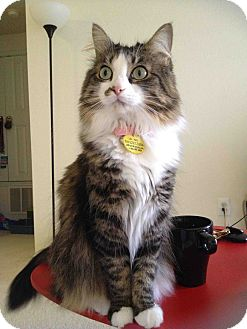 Maine Coon Cat for adoption in Columbus, Ohio - Auriel