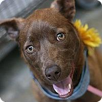 Adopt A Pet :: Brownie - Canoga Park, CA