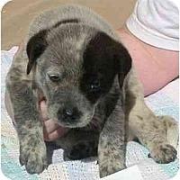 Adopt A Pet :: Bridgit - Phoenix, AZ