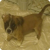 Adopt A Pet :: wheaties - Phoenix, AZ