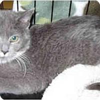 Adopt A Pet :: Stravinsky - Catasauqua, PA