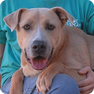 Retriever (Unknown Type)/American Staffordshire Terrier Mix Dog for adoption in Las Vegas, Nevada - Chance