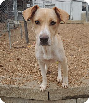 House springs mo labrador retriever mix meet buttercup for Dog house for labrador retriever
