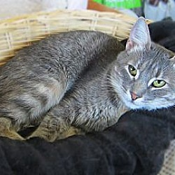 Photo 2 - Domestic Shorthair Cat for adoption in Long Beach, California - Cassidy