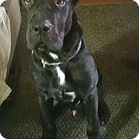 Adopt A Pet :: JARVIS - Oswego, IL