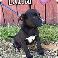 Adopt A Pet :: Luna (Pom-dc) - Hagerstown, MD