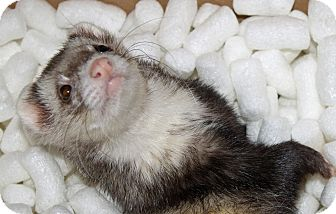 Ferret for adoption in Indianapolis, Indiana - Jenks