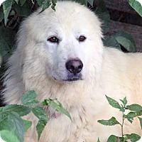 Great Pyrenees Dog for adoption in Beacon, New York - Honey in NJ - pending