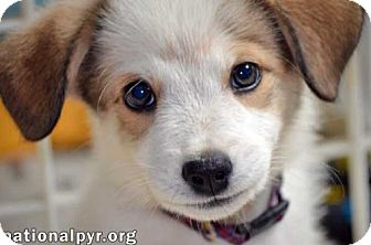 Great Pyrenees Mix Puppy for adoption in Beacon, New York - Peanut in VA - pup!