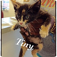 Domestic Shorthair Kitten for adoption in Dillon, South Carolina - Tiny