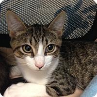 Adopt A Pet :: Tom - Oyster Bay, NY