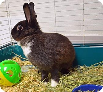Dutch for adoption in Englewood, Florida - Pepper