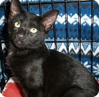 Domestic Shorthair Kitten for adoption in Castro Valley, California - Gianni