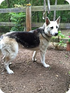 German Shepherd Dog/Husky Mix Dog for adoption in Richmond, Virginia - Ava -Courtesy List