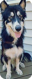 Siberian Husky/Collie Mix Dog for adoption in Hewitt, New Jersey - Yukon