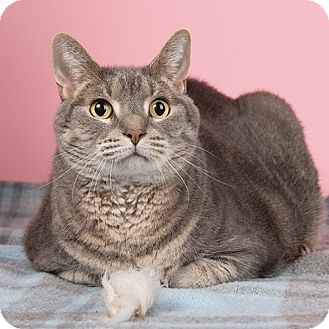 Domestic Shorthair Cat for adoption in Wilmington, Delaware - Misty