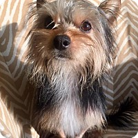 Yorkie, Yorkshire Terrier Mix Dog for adoption in Whitestone, New York - Shiro