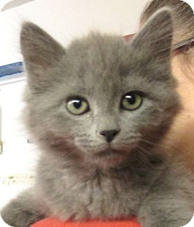 Domestic Mediumhair Kitten for adoption in Reeds Spring, Missouri - Sultan