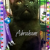 Bombay Kitten for adoption in Knoxville, Tennessee - Abraham
