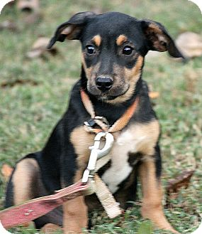 Black and Tan Coonhound Mix Puppy for adoption in Washington, D.C. - Ollie