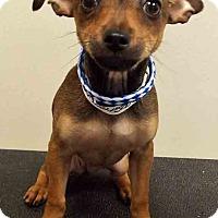Adopt A Pet :: Lunar - Shorewood, IL