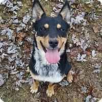 Adopt A Pet :: Saint - Great Falls, VA