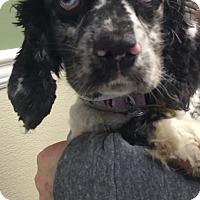 Adopt A Pet :: Isabella - Oak Ridge, NJ