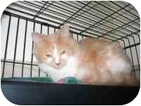 Domestic Shorthair Cat for adoption in Milwaukee, Wisconsin - Patty