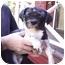 Photo 3 - Lhasa Apso Dog for adoption in Graham, Washington - Mr. White