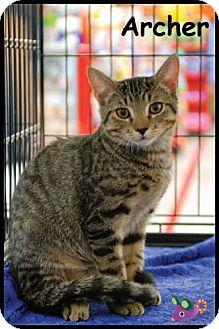 Domestic Shorthair Kitten for adoption in Merrifield, Virginia - Archer