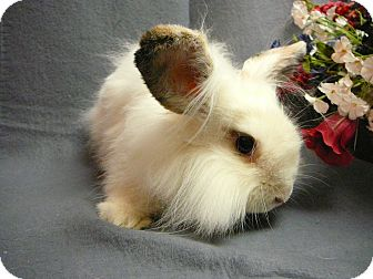 Lionhead Mix for adoption in Newport, Delaware - Jellybean