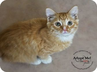 Domestic Shorthair Kitten for adoption in Phoenix, Arizona - Gizmo