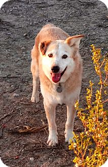 Golden Retriever/Australian Cattle Dog Mix Dog for adoption in Thatcher, Arizona - Rex